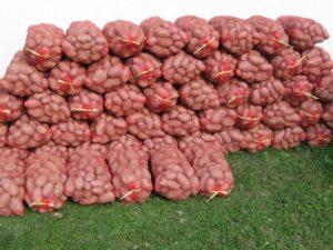 krompir-posle-berbe